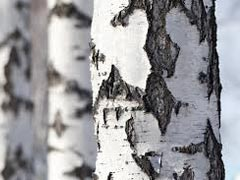Birch Essential Oil Uses