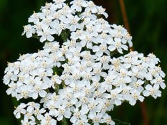 Yarrow Essential Oil Uses